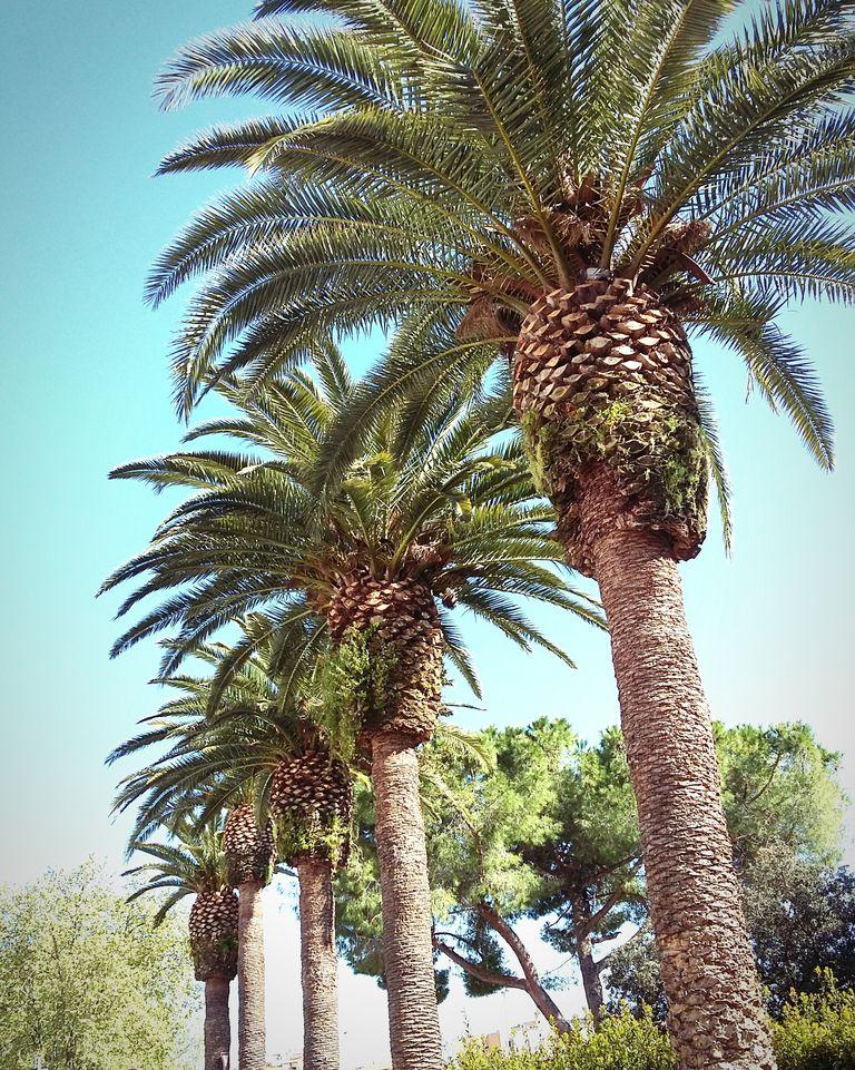 Conoce los diferentes tipos de palmera - Tipos de palmeras de interior ...