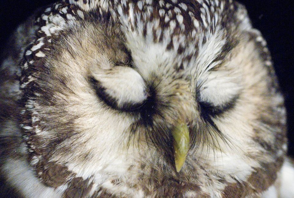 6 reasons why owls make bad pets. Black Bedroom Furniture Sets. Home Design Ideas