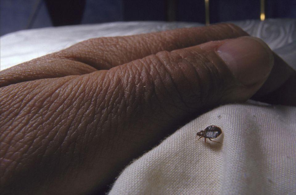 Bedbug cimex lectularius approaching hand