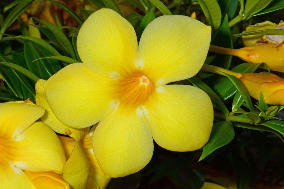 Flower of Golden Trumpet New Caledonia