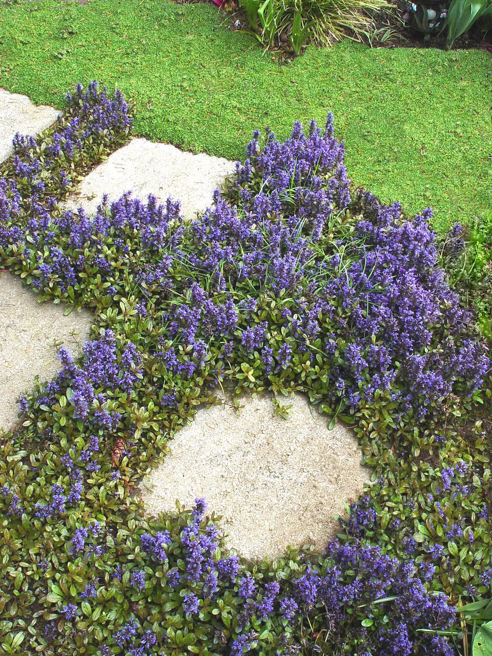 How to plant ground cover between pavers - Ajuga Chocolate Chip