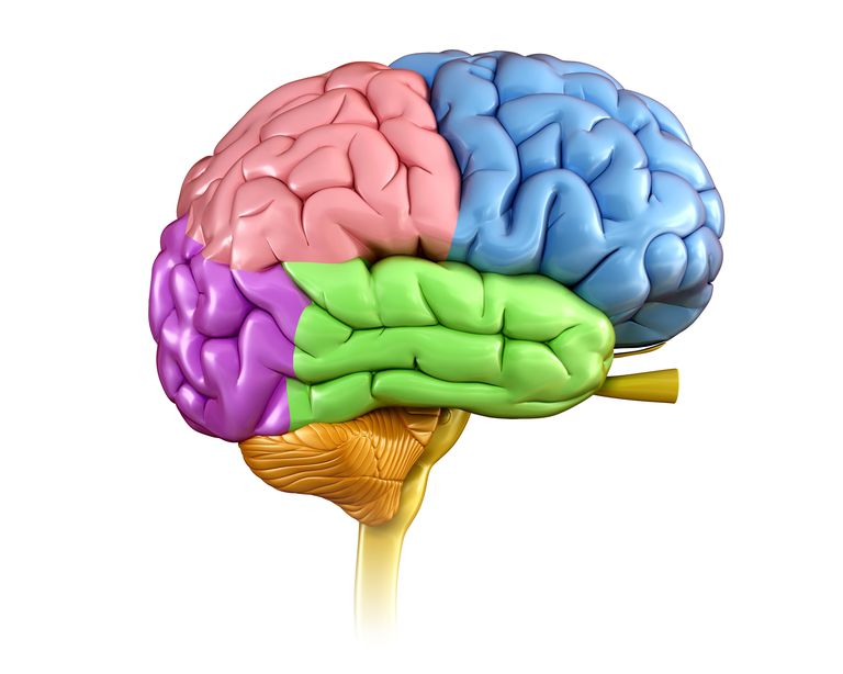 Brain Anatomy: The 4 Lobes, Structures, and Functions