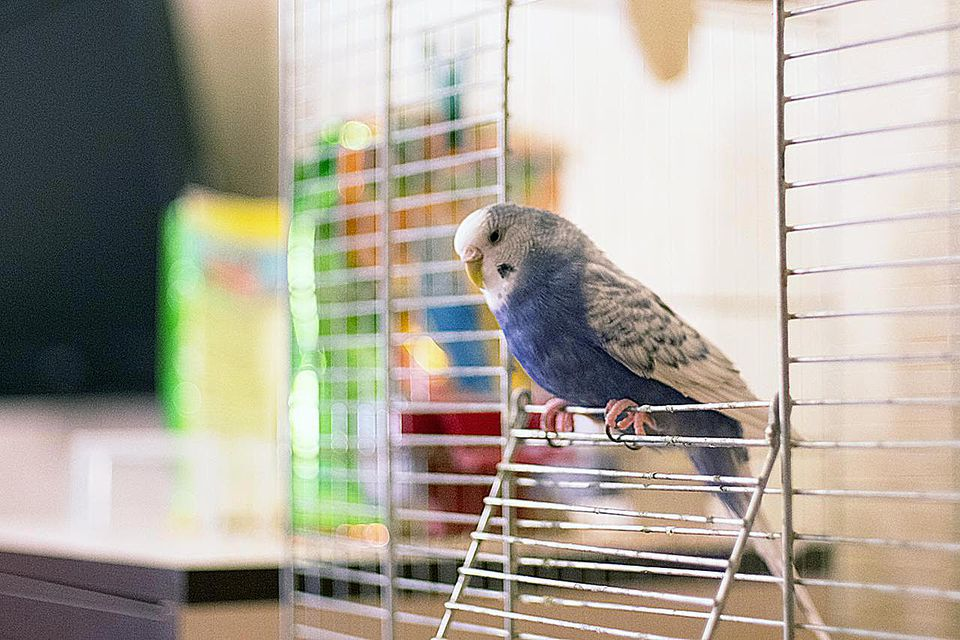 Blue and white budgerigar(Melopsittacus undulatus,also known as common pet parakeet or shell parakeet ) sitting on the edge of cage with colorful background