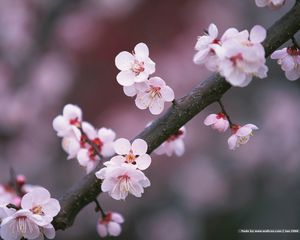 23 beautiful flower wallpapers japanese cherry blossoms on a branch mightylinksfo