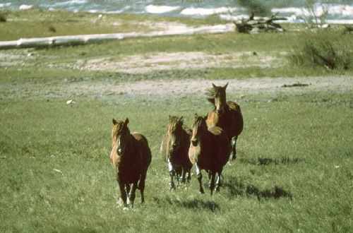 Wild Horses at Cumberland Island National Seashore