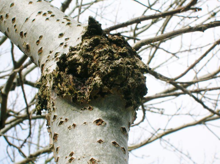 canker tree disease
