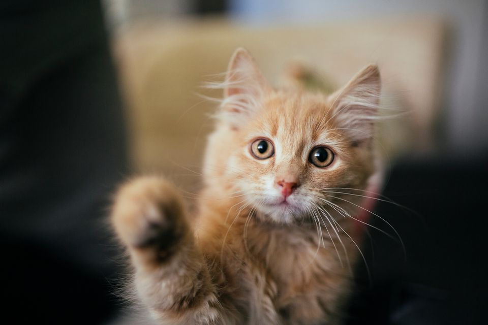 Is Declawing Cats Illegal?