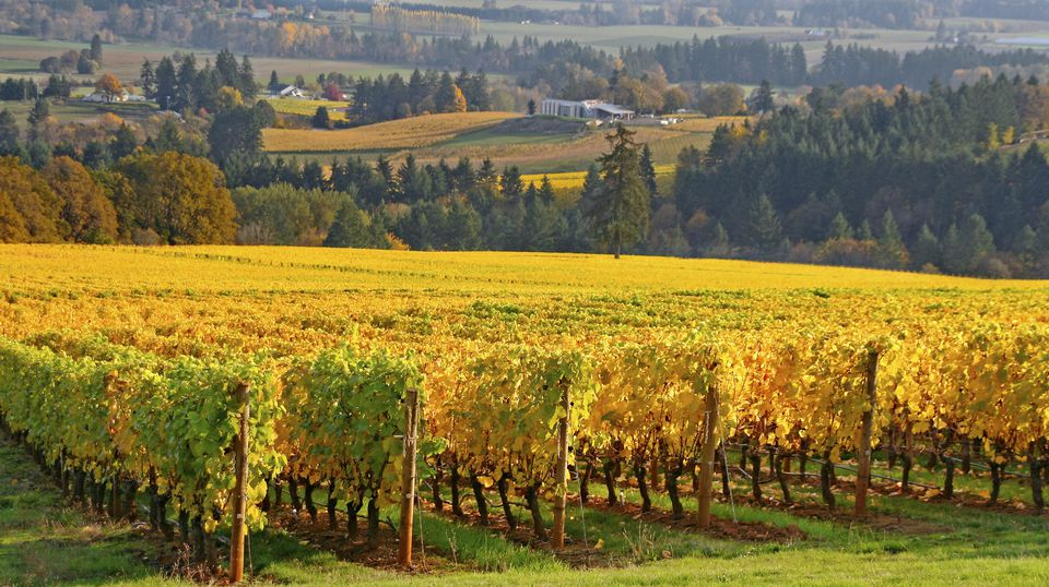 rows of grape vines in Autumn colors in the Willamette valley