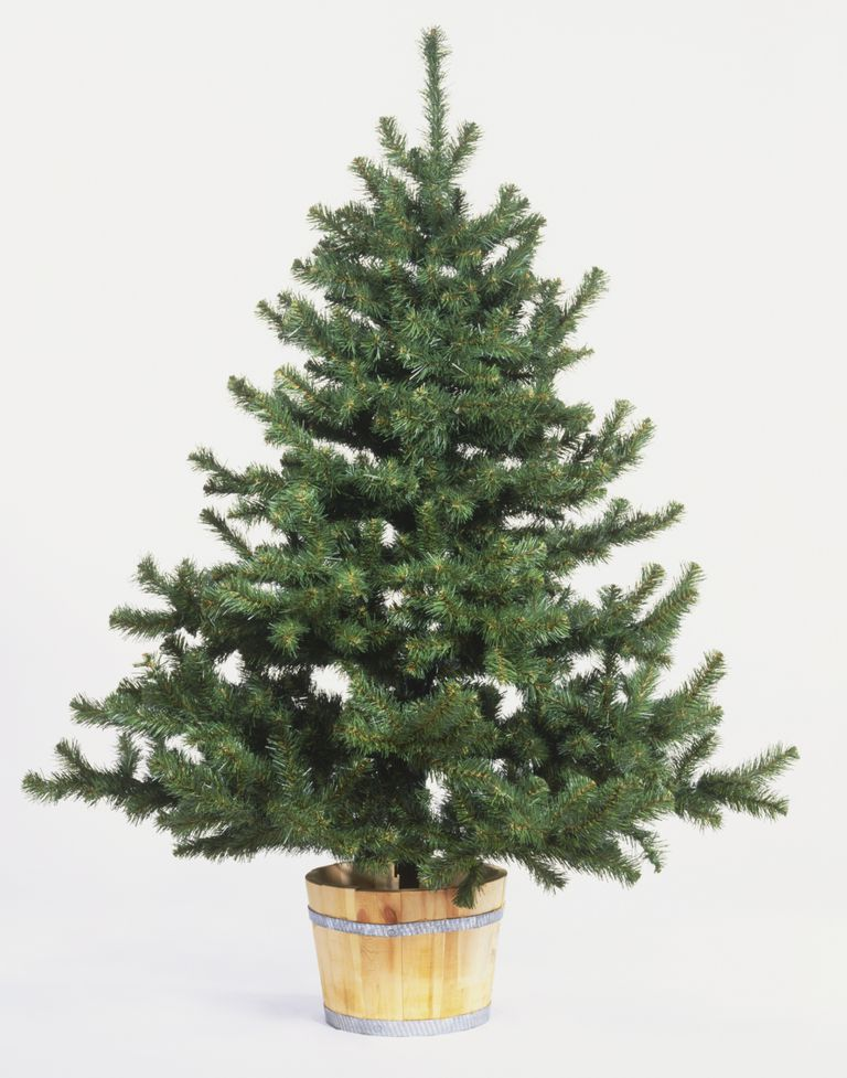 christmas tree in bucket dave king dorling kindersleygetty images - Living Christmas Tree