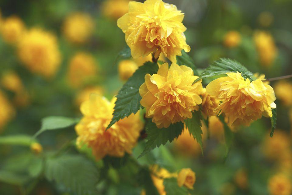 Japanese rose in bloom.
