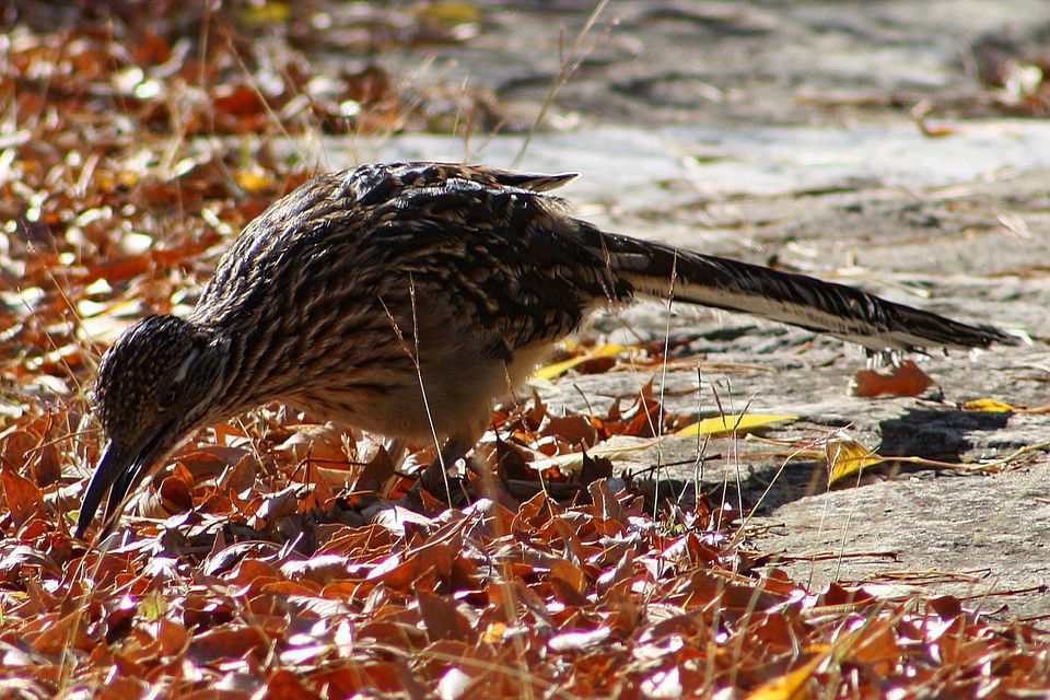 Greater Roadrunner Foraging in Autumn Leaves
