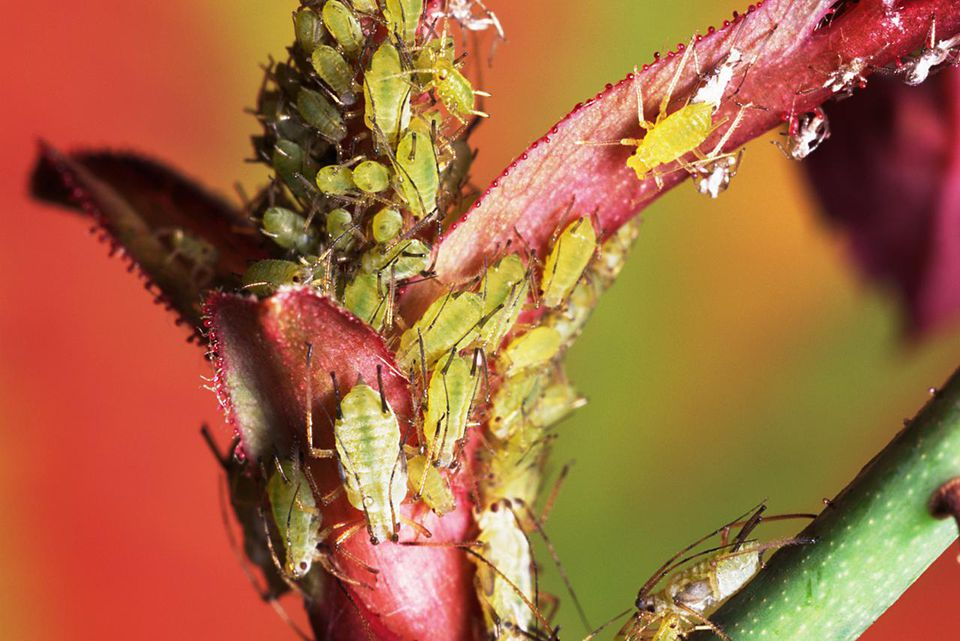 Aphids eating rose
