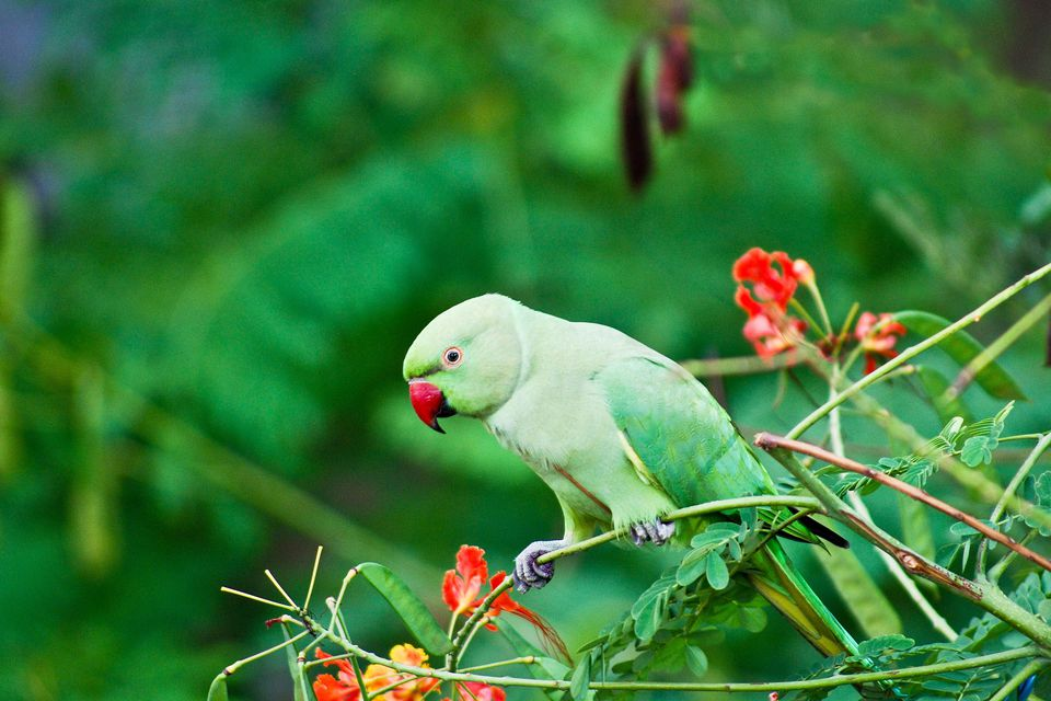Indian Ringnecks Make Delightful Companions
