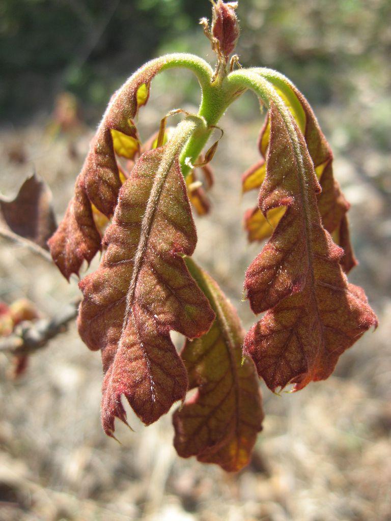 Quercus Velutina Buds Black Oak, a Top 100 C...