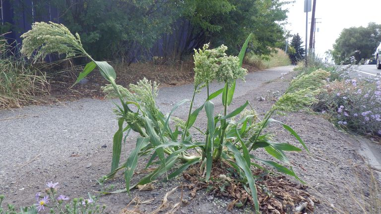 Broomcorn Millet in a Montana Roadside