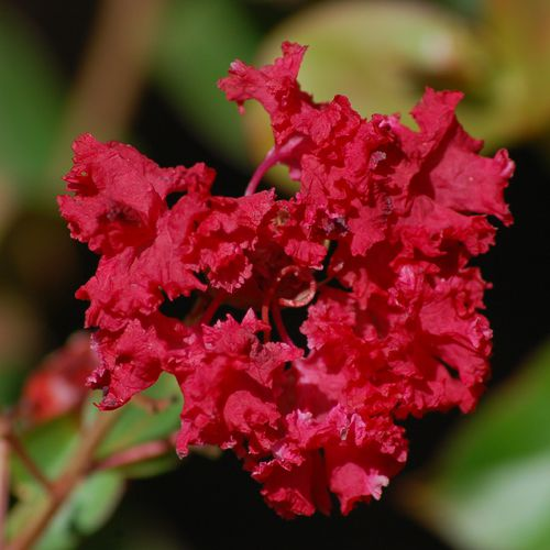 Picture of pink crape myrtle. Lagerstroemia is the plant's Latin name.