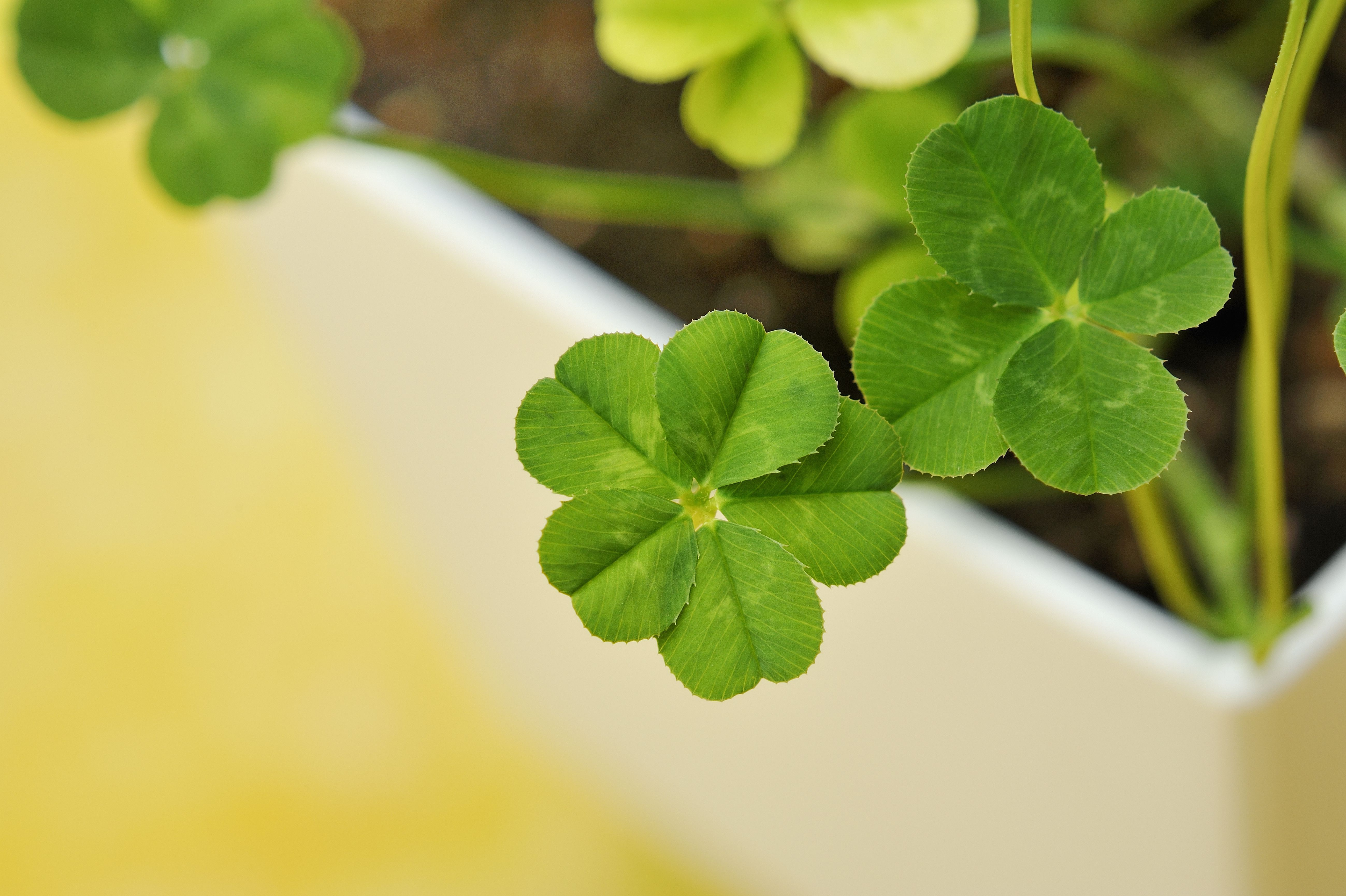 good luck clovers 11 juicy facts about lucky clover