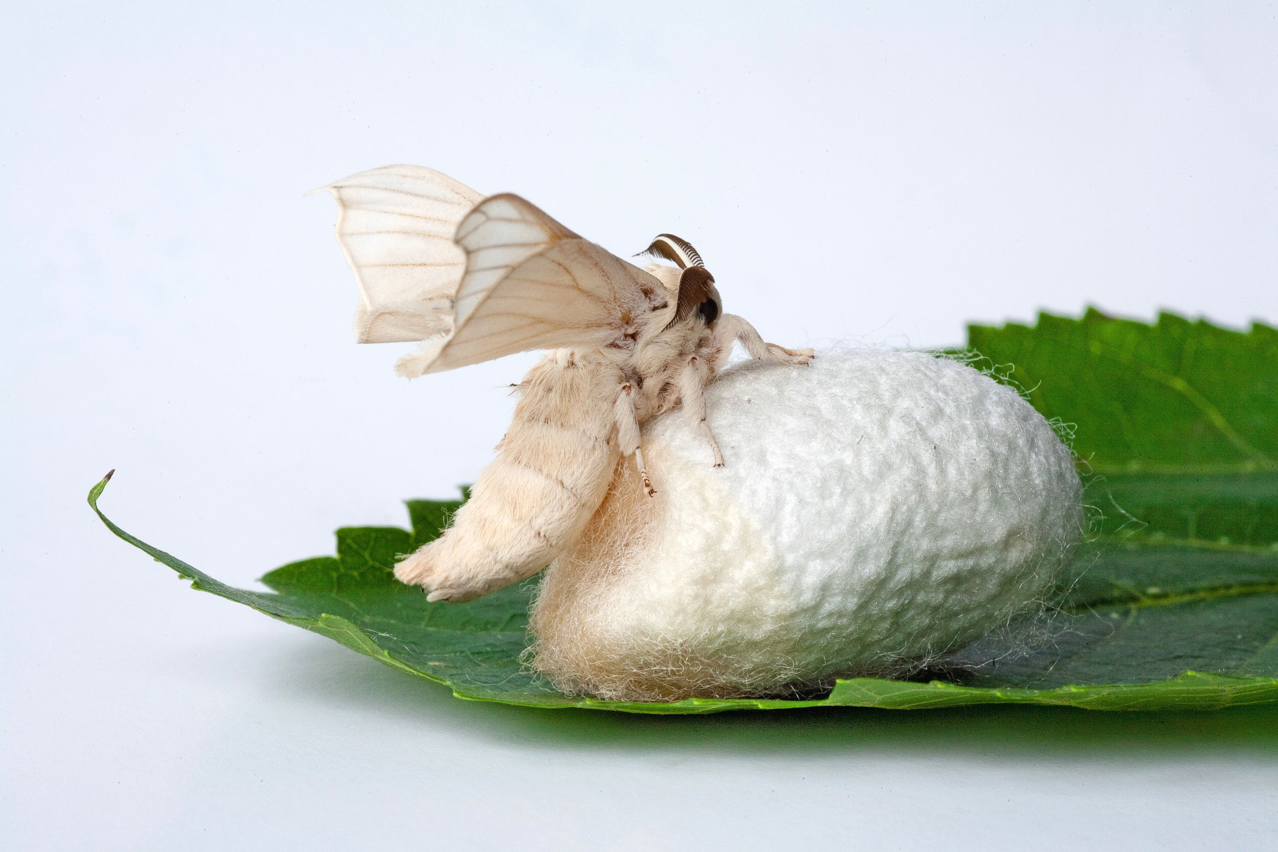 The Ancient History Of Silk Making And Silkworms