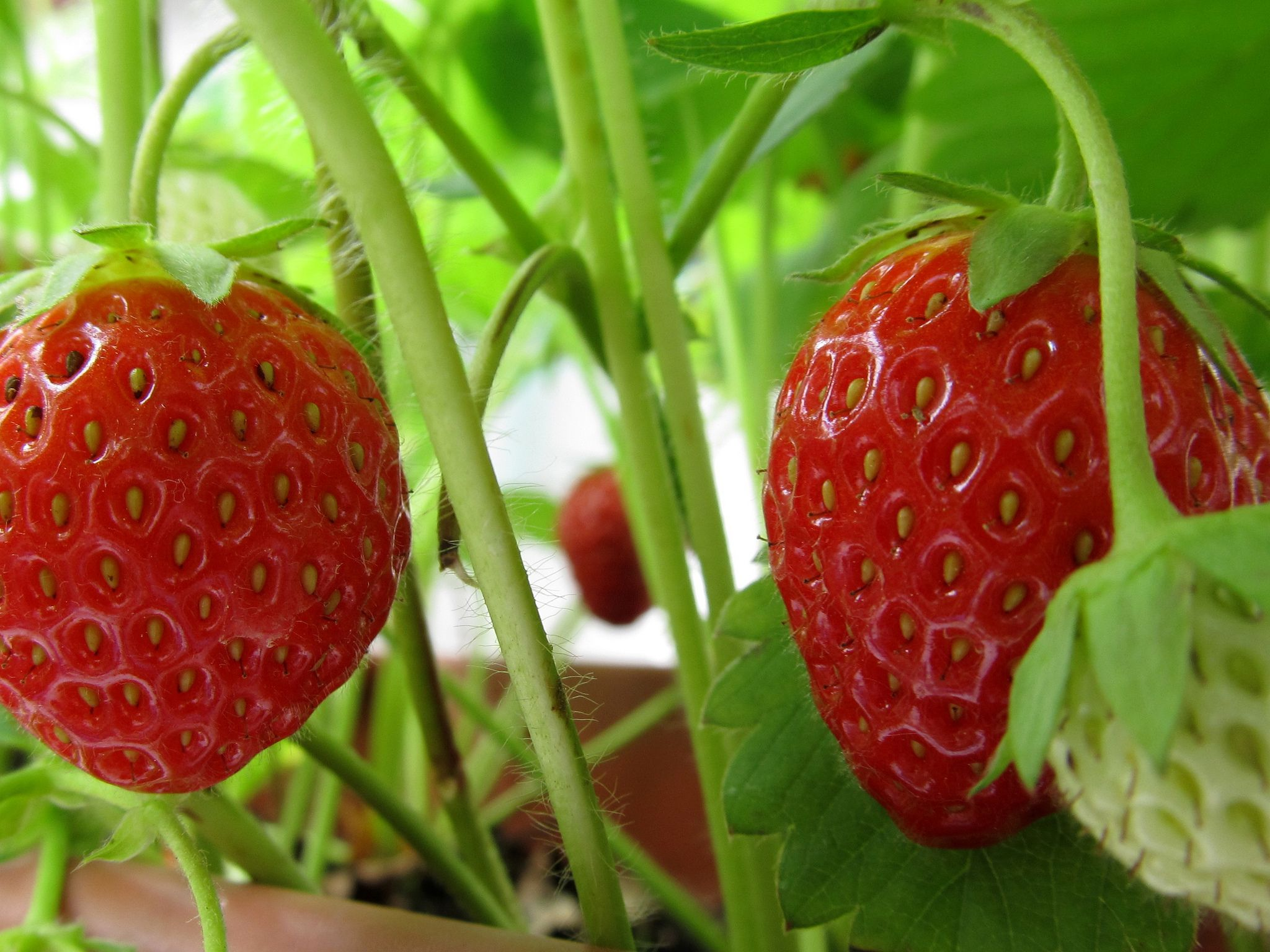 Best strawberries to grow in texas - Growing Strawberries From Seeds The Easy Way