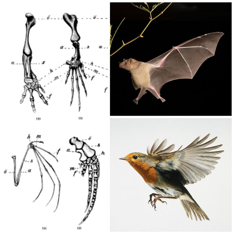 Homology and Homoplasy of Bat and Bird Wings
