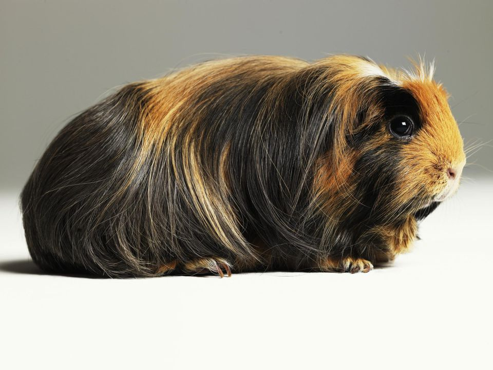 Long haired ginger, black and white guinea pig