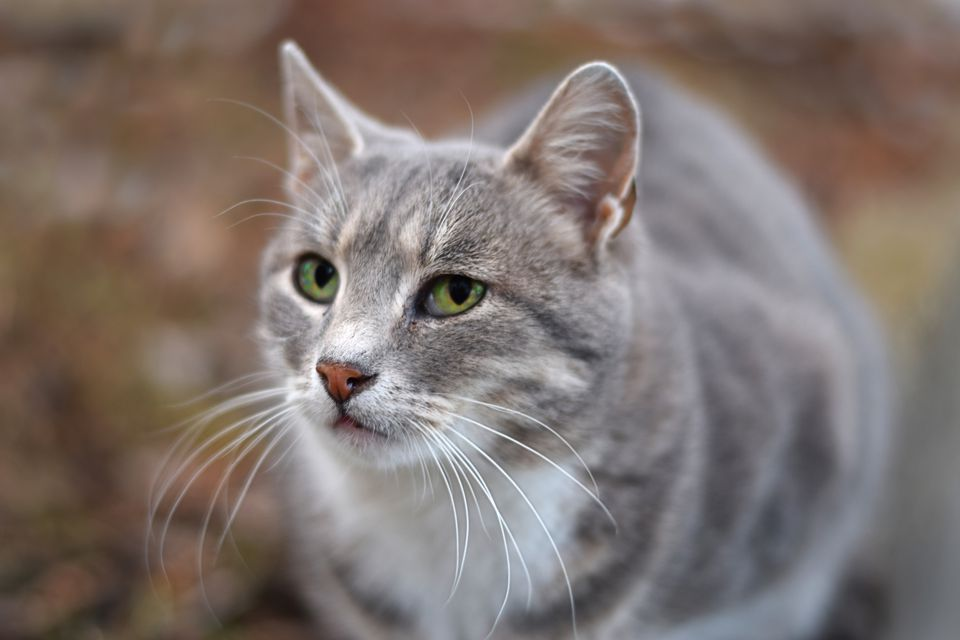A female cat