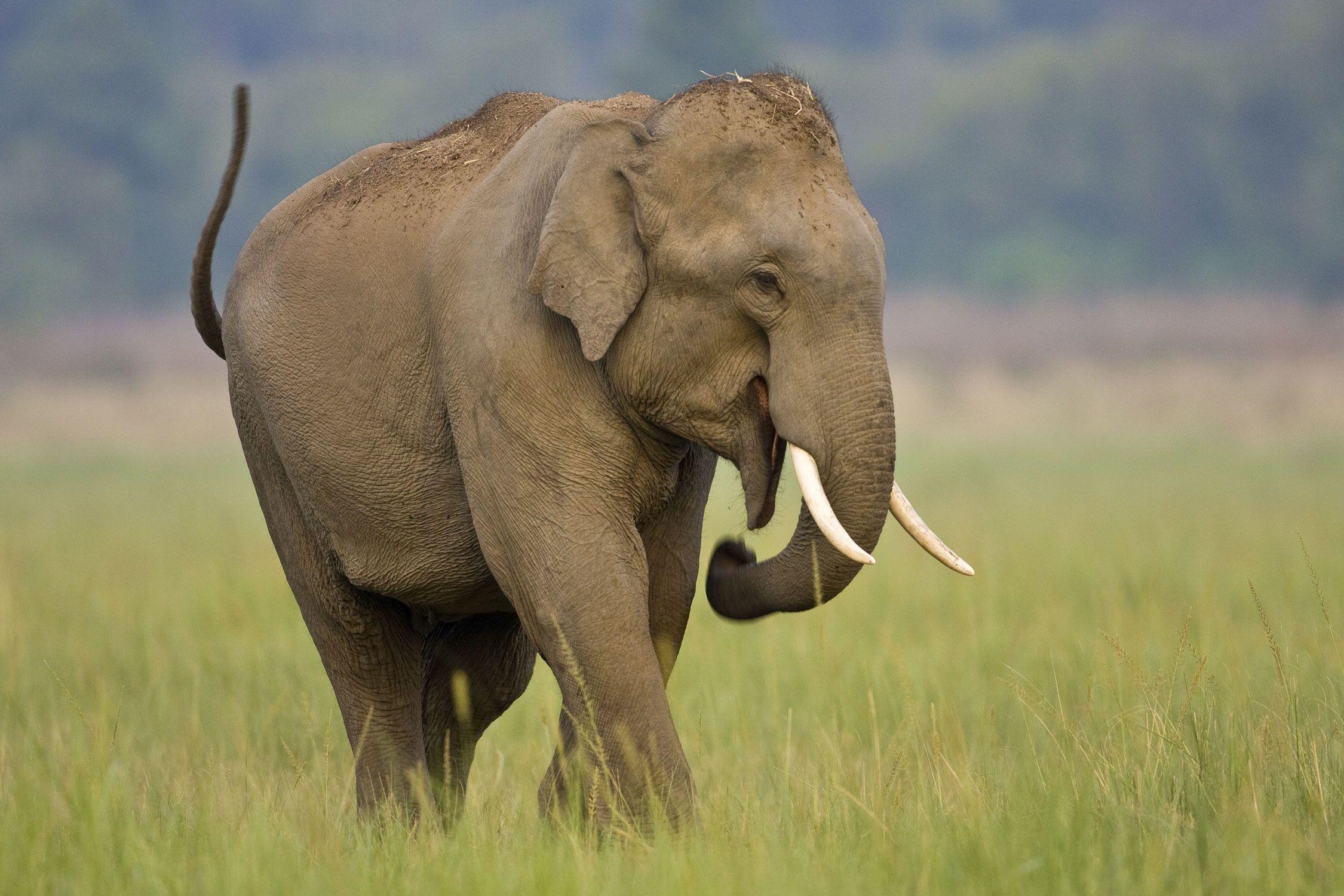 Asian Elephant: The Elephants of India and Southeast Asia