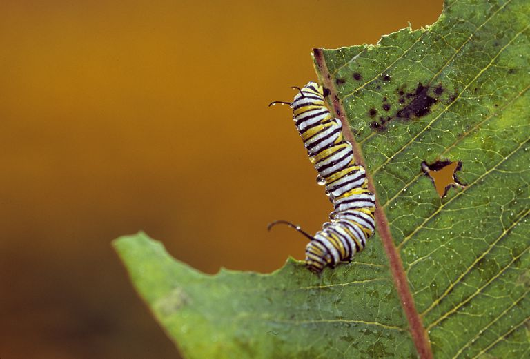 Monarch caterpillar Danaus plexippus feeding on leaf, Pennsylvania, USA