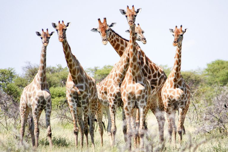 Female giraffes form small herds that usually do not include males.
