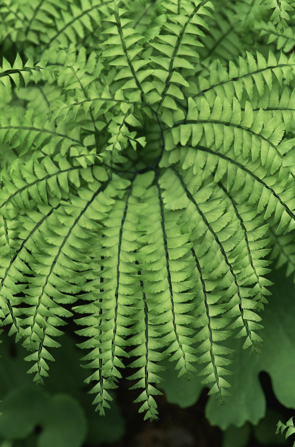 Adiantum pedantum or maidenhair fern