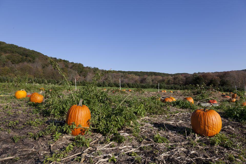 Pumpkin patch near Litchfield, Connecticut