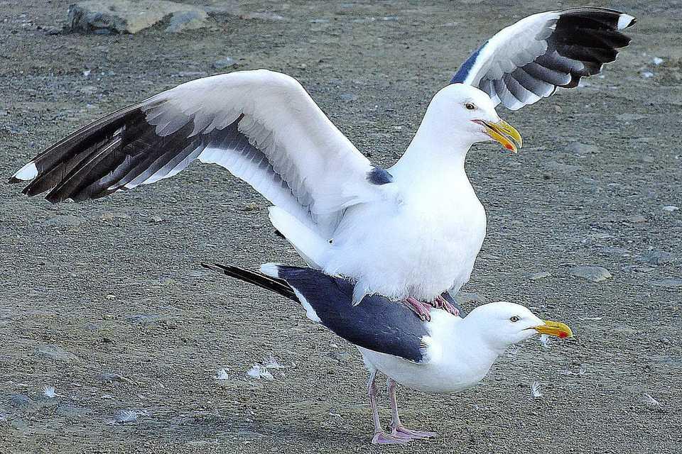Mating Gulls