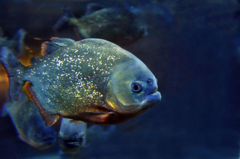 Single piranha