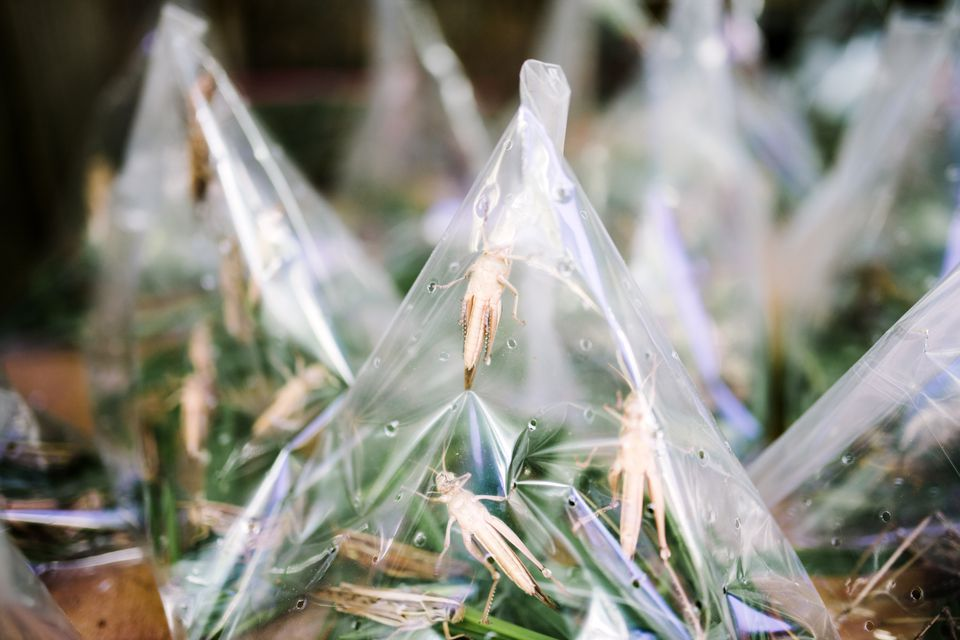 crickets sold as bird food