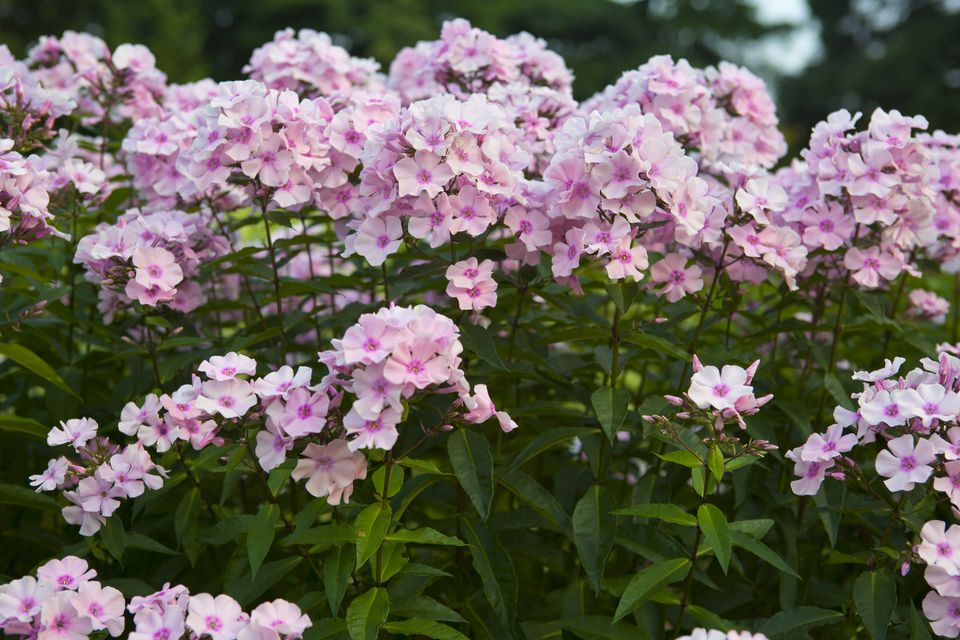 tall garden phlox care varieties of popular perennial. Black Bedroom Furniture Sets. Home Design Ideas