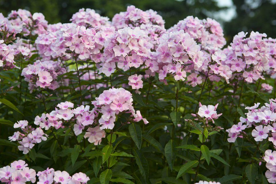 tall garden phlox care varieties of popular perennial. Black Bedroom Furniture Sets. Home Design Ideas