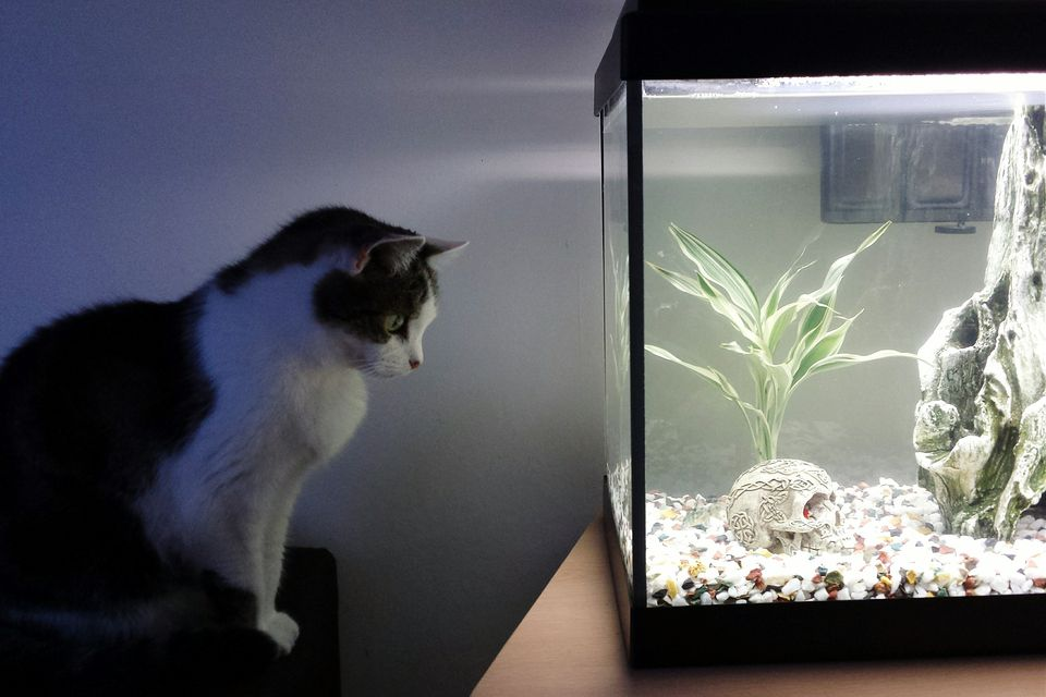 Cat looking at fish tank