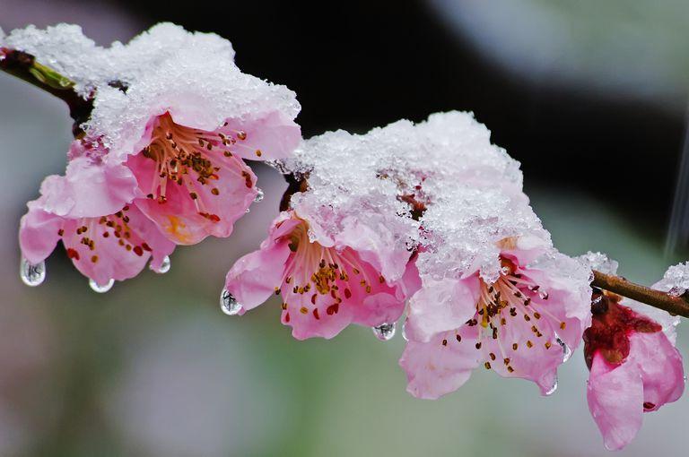 snow on tree blossoms
