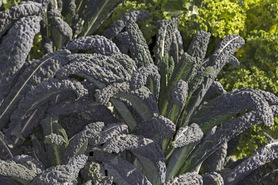 Black-Leaf/Tuscan/Lacinato/Dinosaur Kale