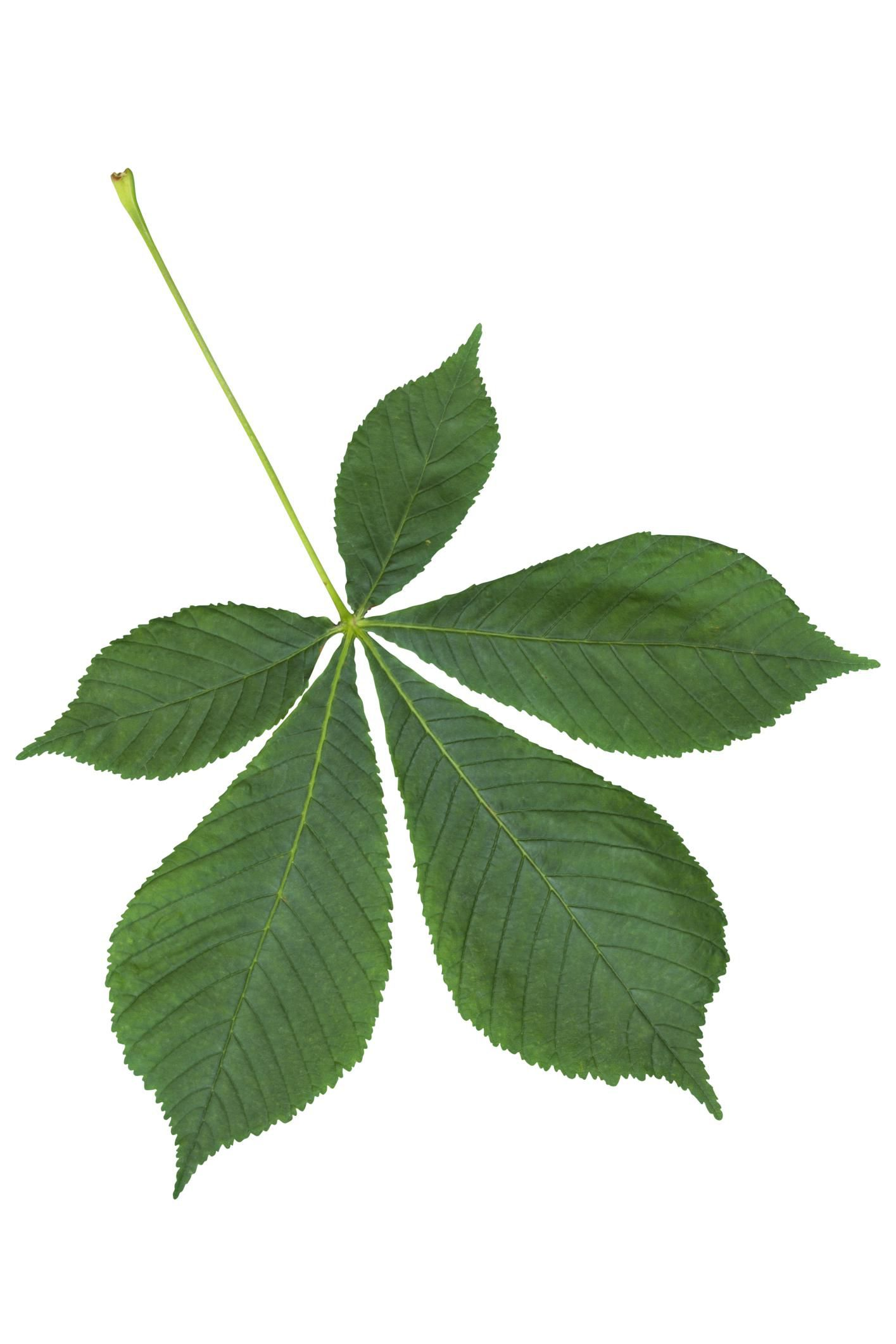 Palmate And Pinnate Compound Leaves