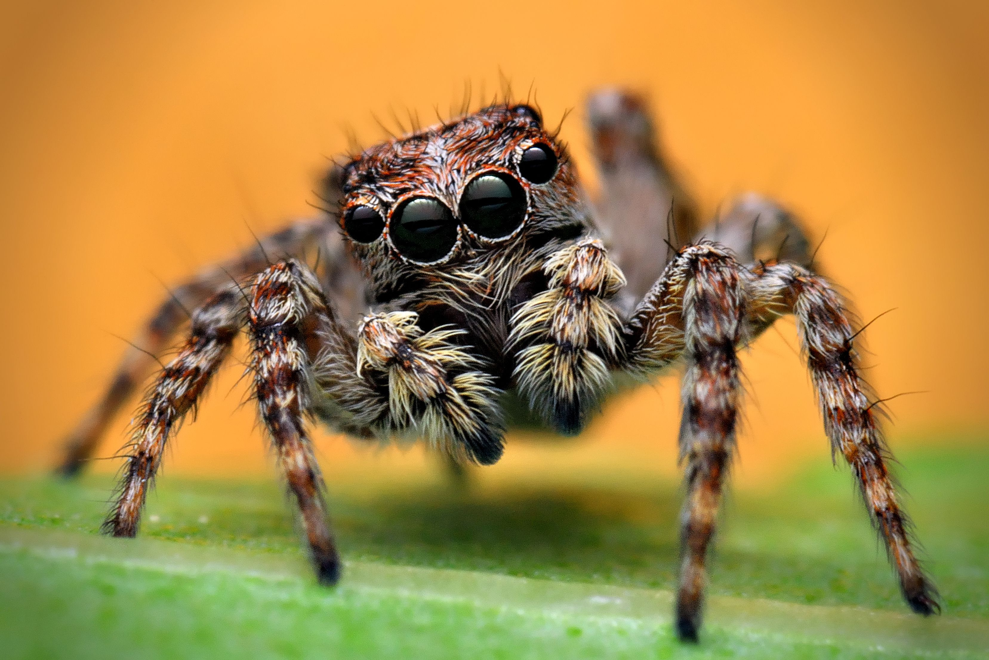 Habits and traits of jumping spiders family salticidae for What does a garden spider look like