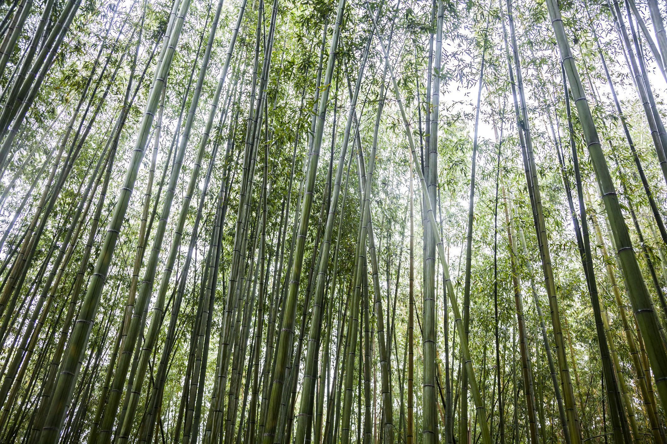 The role of bamboo in japanese culture buycottarizona Image collections
