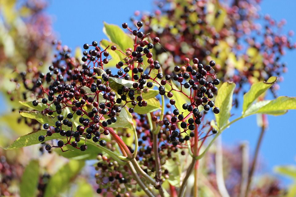 elderberries sambucus plant