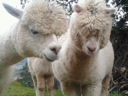 Alpacas Japani y Mia