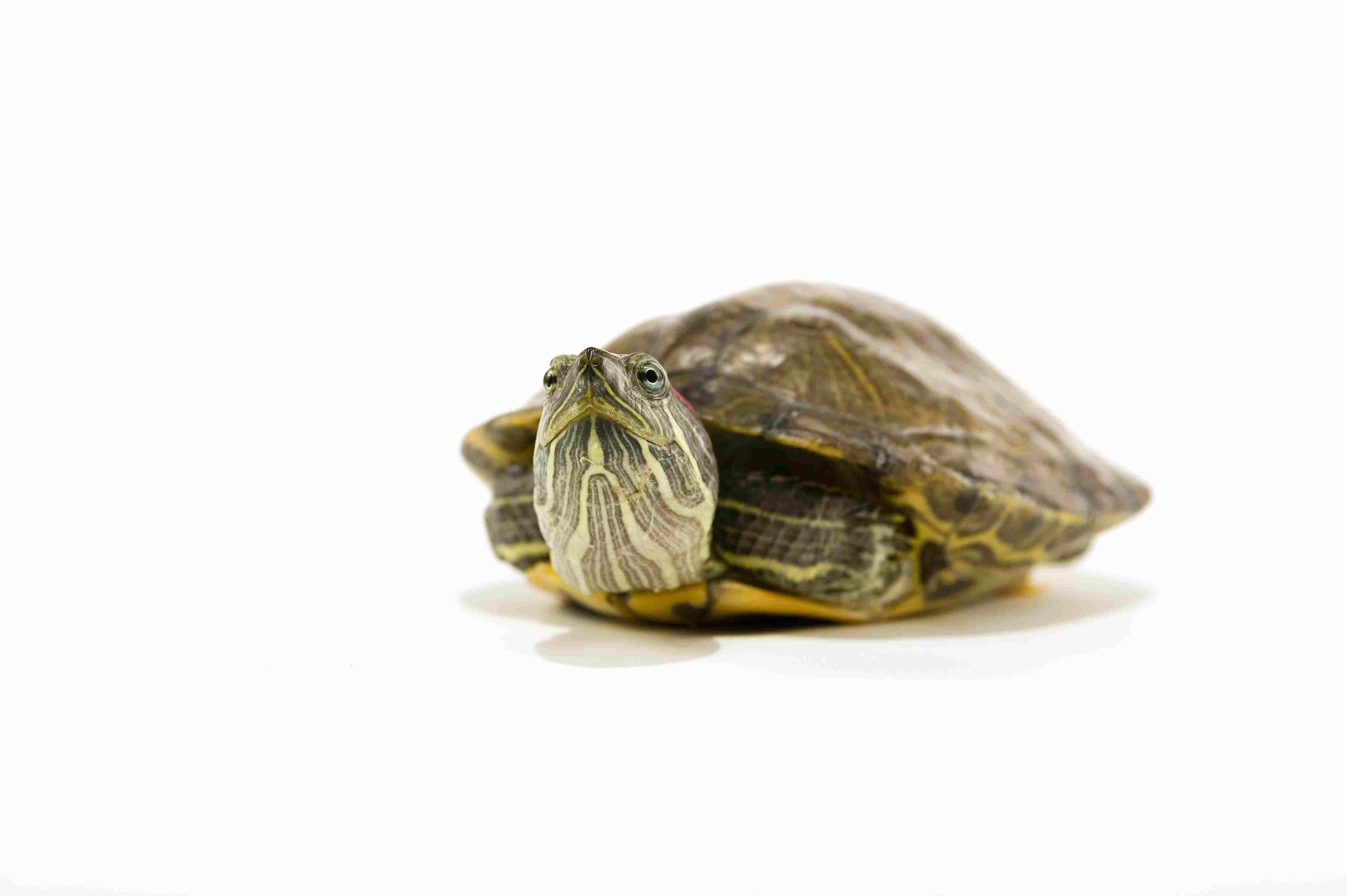 A Guide to Caring for Pet Red Eared Sliders