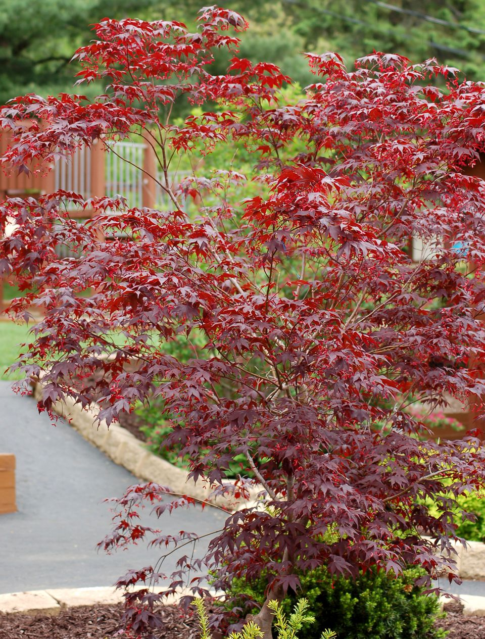 My picture of Bloodgood Japanese maple shows its leaf color.