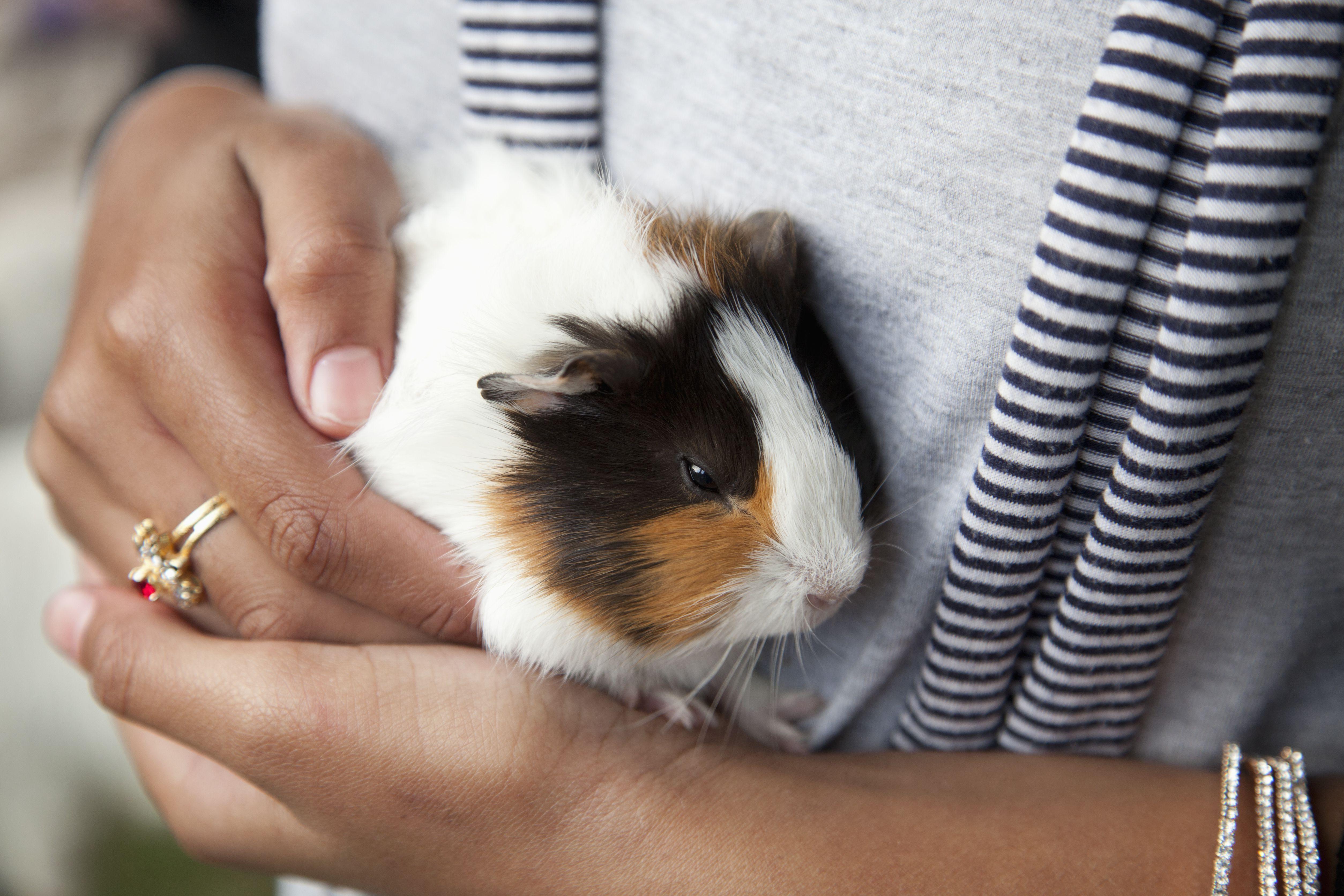 farm-pet-guinea-pig-cavia-porcellus-153342162-58ad98553df78c345b874f67.jpg