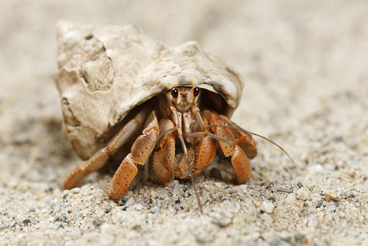 Molting Hermit Crabs Advice On Care