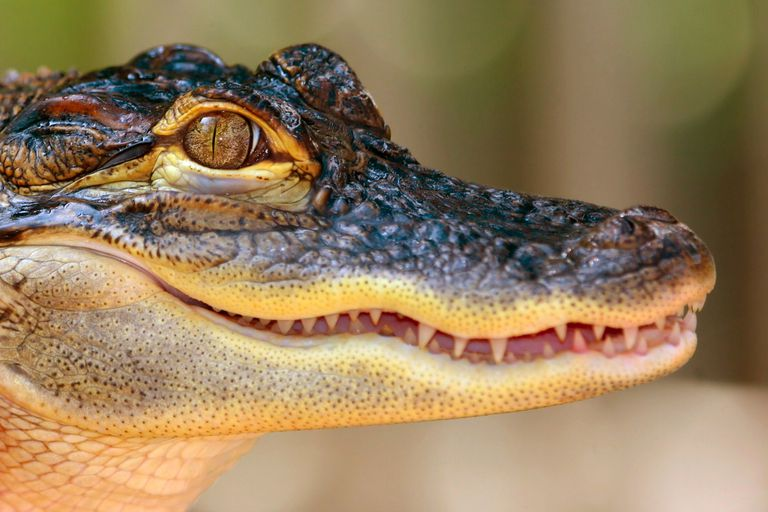 This alligator is among about 23 species of crocodilians alive today.