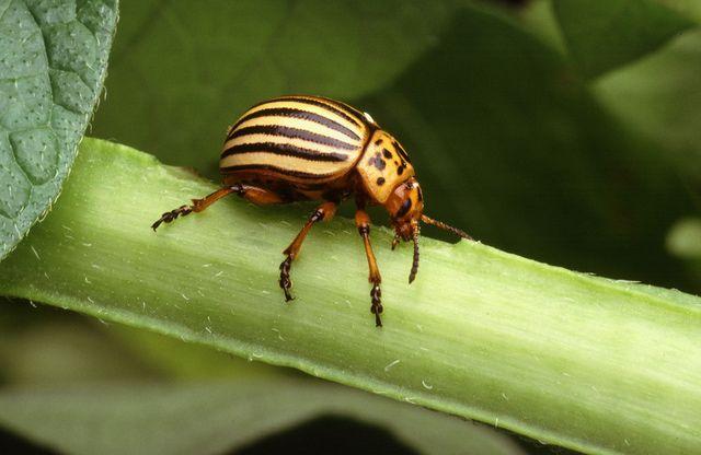 Colorado potato beetle.